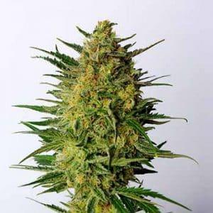 marihuaną lecznicza